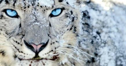 Saša Meršinjak. Snježnileopard