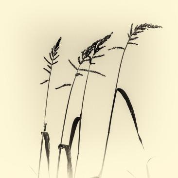 Cvrčak na stabljici trave, 2014.